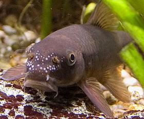 Volám sa Garra rufa, ale volajú ma aj doktor ryba